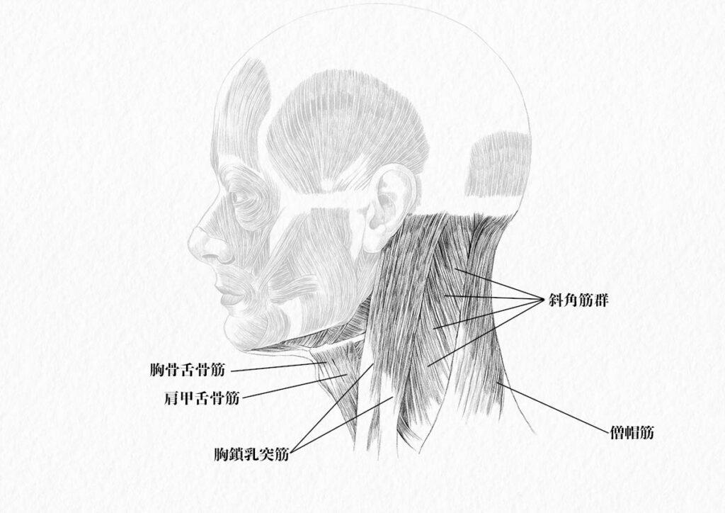 頸部の筋肉_側面