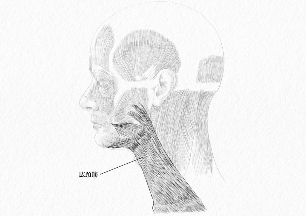 頸部の筋肉_広頚筋